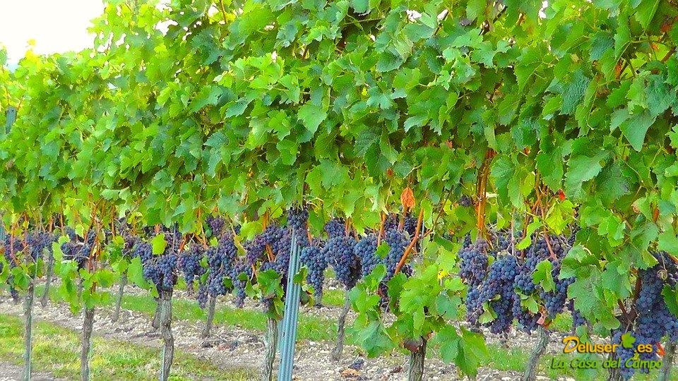Manejo y cuidado del viñedo